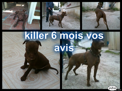 Killer, chien American Staffordshire Terrier