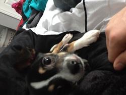 Killer, chien Chihuahua
