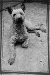Kim, chien Berger belge