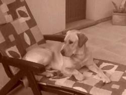 Kim, chien Labrador Retriever