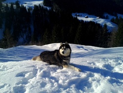 Kim, chien Husky sibérien