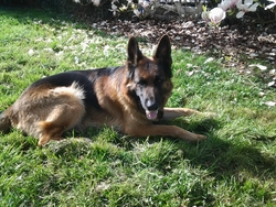 Kim, chien Berger allemand