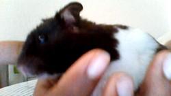 Kim, rongeur Hamster