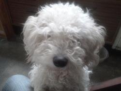 Kim, chien Bichon maltais
