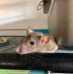 Kim-Un -Kimoune, rongeur Rat
