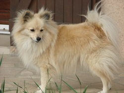 Kimba, chien Spitz finlandais