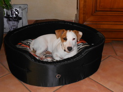 Kimbo, chien Jack Russell Terrier