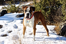 Kimbo, chien Boxer