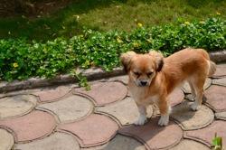 Kimbo, chien Pékinois