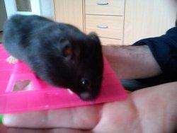 Kimi, rongeur Hamster