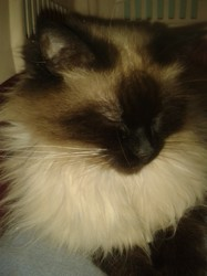Kimi, chat Siamois