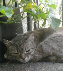 Kimiko, chat Européen