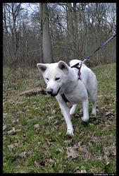 Kimiko, chien Akita Inu