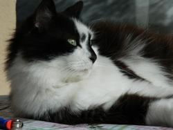 Kimmy, chat Européen