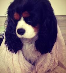 Kimmy, chien Cavalier King Charles Spaniel