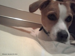 Kimmy, chien Jack Russell Terrier