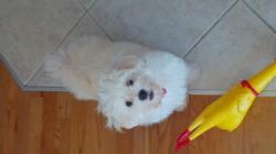 Nikko, chien Bichon maltais