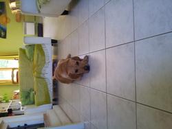 Kimo, chien Labrador Retriever