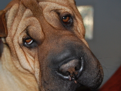 Kimo, chien Shar Pei