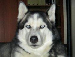 Kimo, chien Husky sibérien