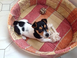 Kimy, chien Jack Russell Terrier