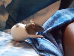 Kimy, rongeur Rat