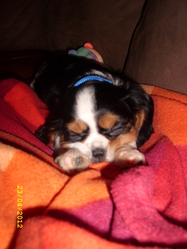 Kimy, chien Cavalier King Charles Spaniel