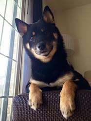 Kina, chien Shiba Inu