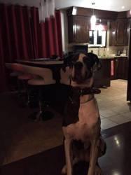 Kina, chien Dogue allemand