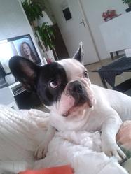 Kina, chien Bouledogue français