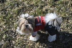 Kinai, chien Shih Tzu