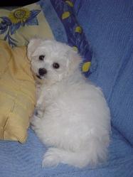 Kinai, chien Bichon à poil frisé