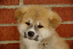 Kinai, chien Akita Inu