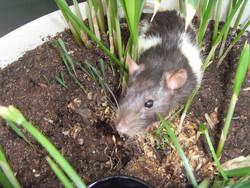 Kinay, rongeur Rat