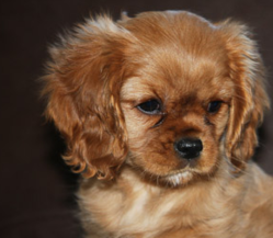 Kinder, chien Cavalier King Charles Spaniel