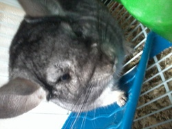 Kinder, rongeur Chinchilla