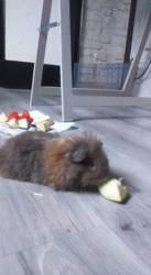 Kinder, rongeur Hamster