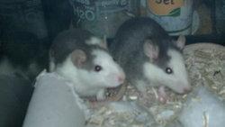 Kinder Et Haribo, rongeur Rat