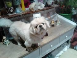 King, chien Pékinois