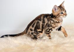 King Of Pop, chat Bengal
