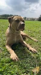 King, chien Dogue de Majorque