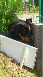 Kingston, chien Beauceron