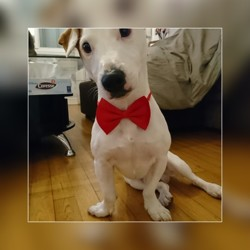 Kingston, chien Jack Russell Terrier