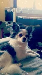 Kingston, chien Chihuahua