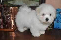 Kipling , chien Coton de Tuléar