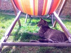 Kipou , chat Européen
