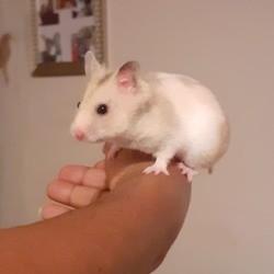 Kirà, rongeur Hamster