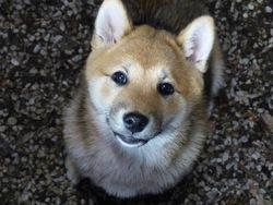 Kira, chien Shiba Inu