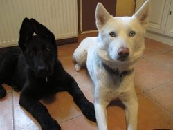 Kira, chien Husky sibérien