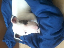 Kira, chien Bull Terrier